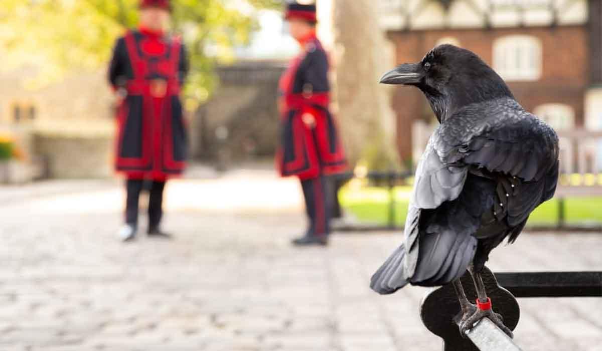 Semn rau?  Un corb a disparut din din Turnul Londrei